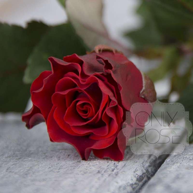 Роза эль торо: описываем в общих чертах
