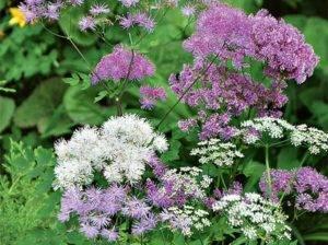 Василистник малый — лечебная трава в вашем саду