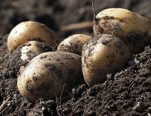 Как выращивать картофель? уход, окучивание, полив, удобрение