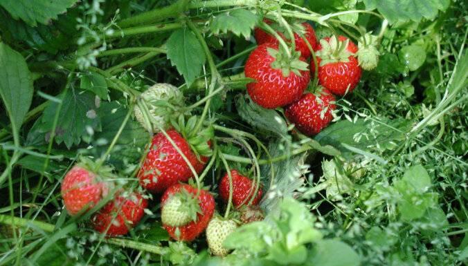 Почему сохнет клубника с ягодами: методы борьбы и уход за уже прижившимися кустами клубники (видео и 80 фото)