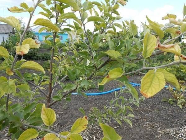 Почему желтеют листья у яблони и появляется ржа на стволе: что делать