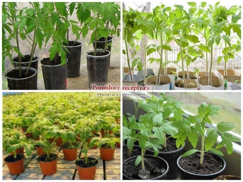 Почему белеют листья у рассады помидор и что делать