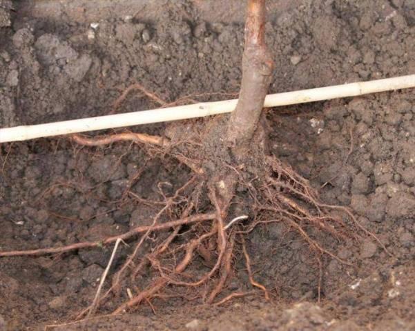 Как правильно посадить яблоню весной. как посадить саженец яблони весной?
