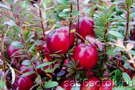 Клюква садовая – 6 самых популярных сортов