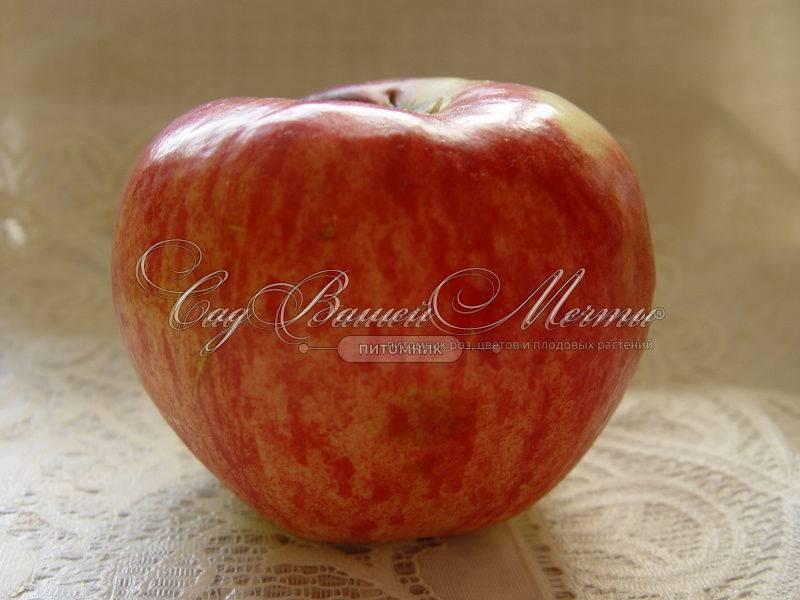 Апорт (сортотип яблони) — википедия. что такое апорт (сортотип яблони)