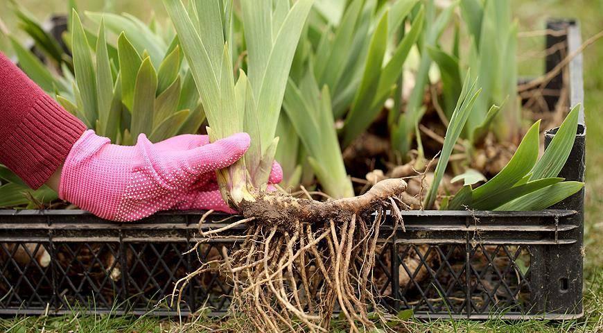 Июль – время пересаживать ирисы в саду (мастер-класс, фото)