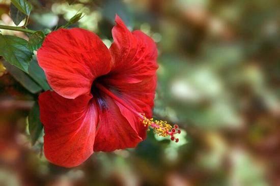 Все о том, почему не цветет красавица китайская роза в домашних условиях
