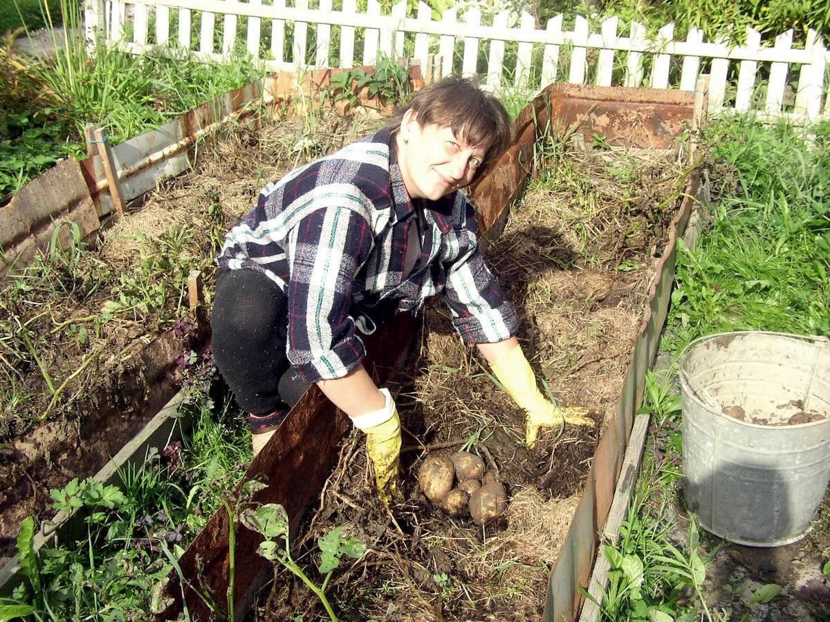 Методы выращивания картофеля - 12 способов с описанием