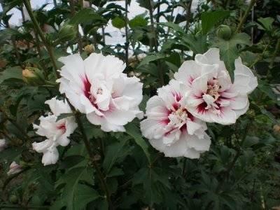 Гибискус арденс: фото цветка, как проводится посадка и уход, а также каким образом сирийский красавец зимует в открытом грунте?