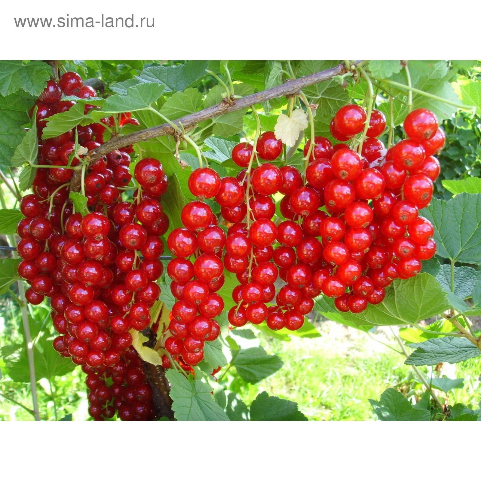 Красная смородина джонкер ван тетс