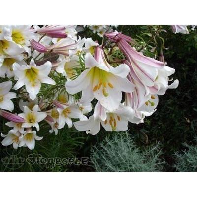 Лилия царственная — википедия переиздание // wiki 2