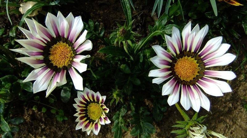 Гацания - посадка и уход, фото. выращивание газании из семян   сажаем сад