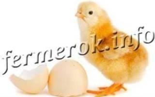 Какой срок инкубации куриных яиц?