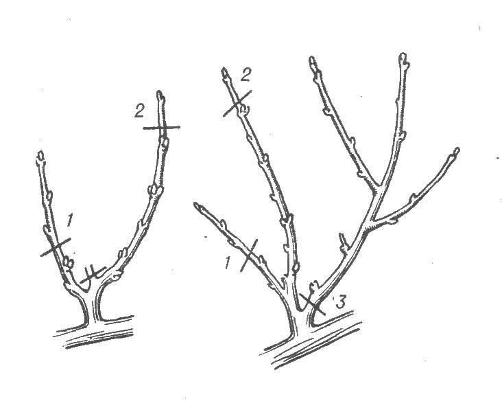 Универсальная схема для обрезки абрикоса осенью