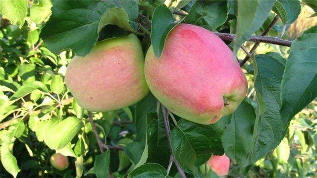 Описание и характеристики яблонь кандиль орловский
