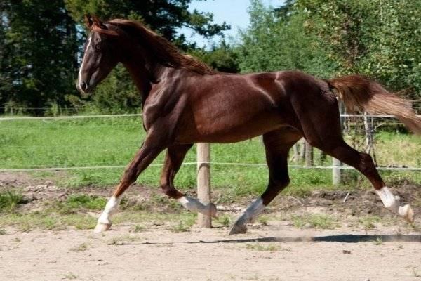 Американские лошади: разновидности пород и их особенности