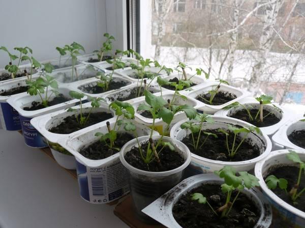 Выращивание сельдерея в сибири