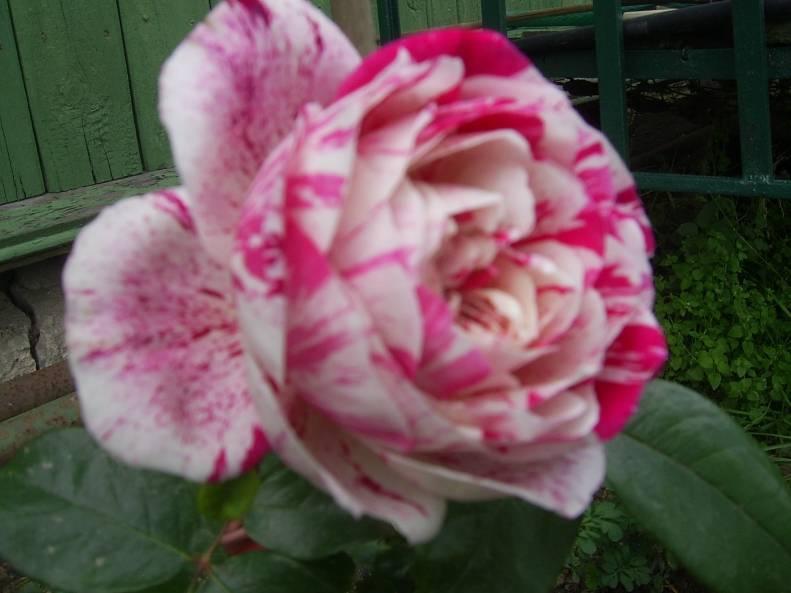 Роза изабель ренессанс фото и описание
