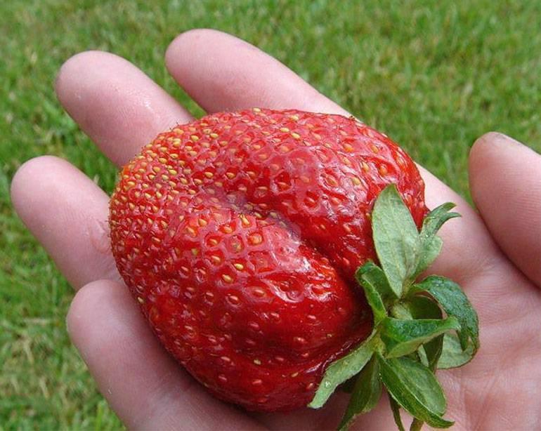 Клубника - лорд - королевские урожаи, королевской ягоды