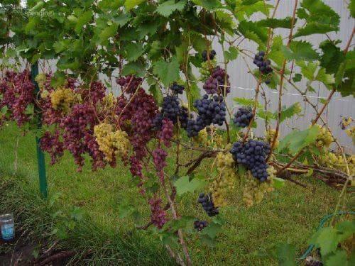 Виноград «алешенькин»: описание сорта, фото и отзывы