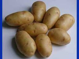 Сорт картофеля «родриго»: характеристика, урожайность, отзывы и фото