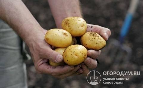 Картофель скарб: описание сорта, фото, отзывы, характеристика, сроки созревания