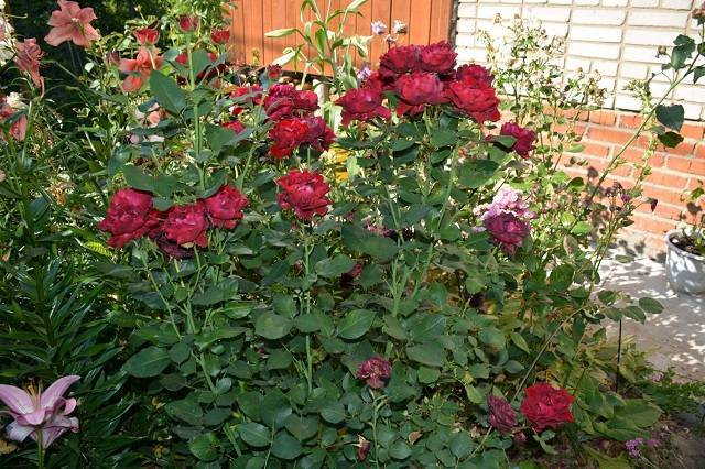 О розе Hommage a Barbara: описание и характеристики сорта, уход и выращивание