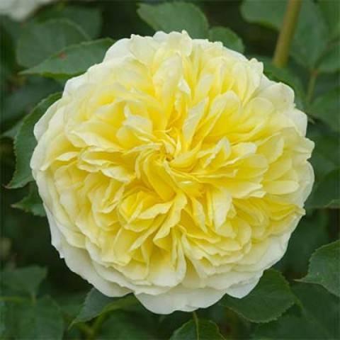 Как посадить и ухаживать за английской парковой розой пилигрим: описание сорта