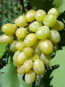 """Виноград """"илья муромец"""": красный сорт с ранним созреванием ягод"""
