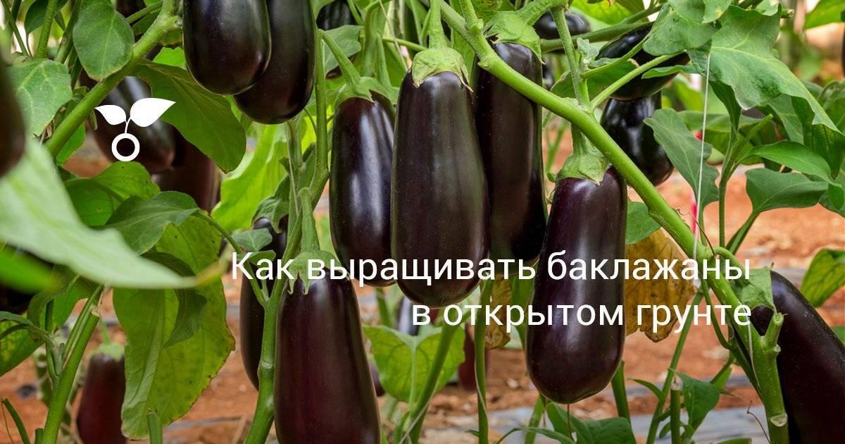 Любительское руководство по выращиванию баклажанов в открытом грунте