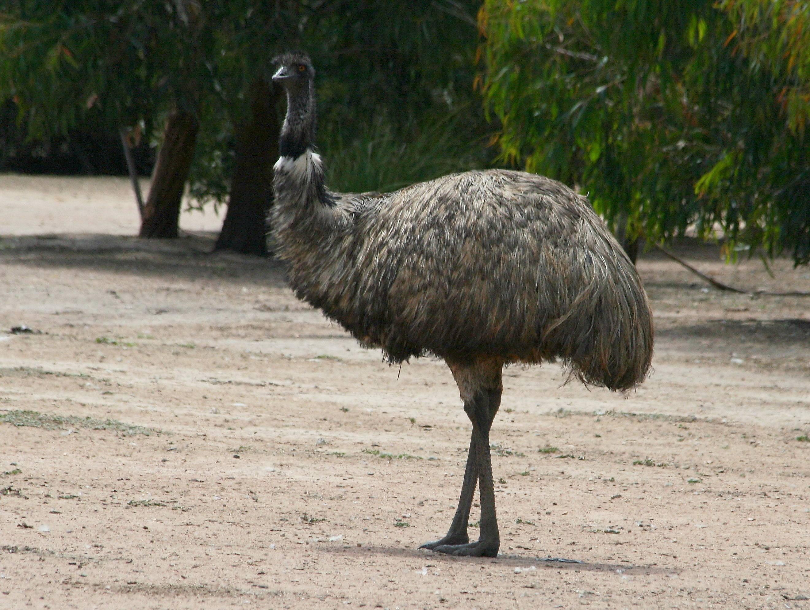 Страус нанду и другие наиболее популярные породы экзотической птицы