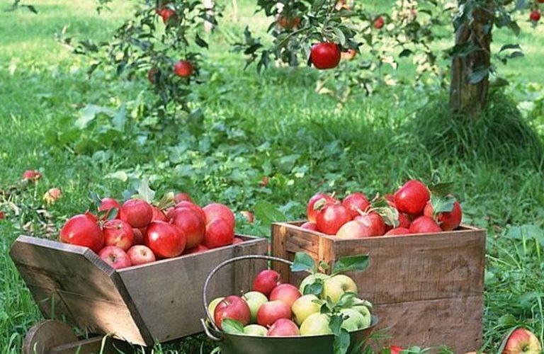 Колоновидная яблоня: особенности посадки саженцев и правила ухода