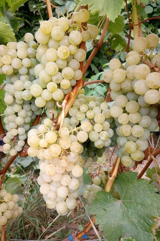 Виноград цитронный магарача: характеристика и описание сорта, посадка и уход