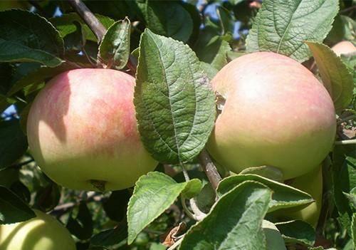 О яблоне Солнцедар: описание сорта, характеристики, агротехника, выращивание