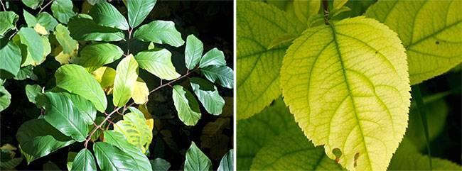 Хлороз растений причины и лечение, фото листьев роз, яблони, смородины, флоксов, перца и др