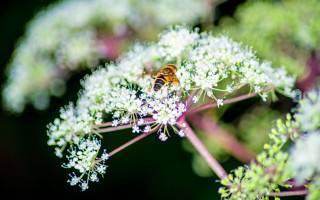 Мед из дягиля: полезные свойства и противопоказания