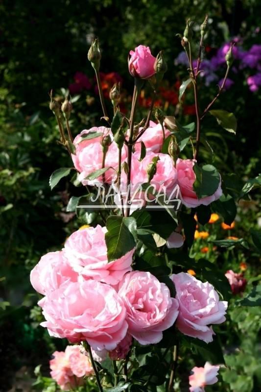 Роза куин элизабет: фото, отзывы, описание и особенности ухода за цветами