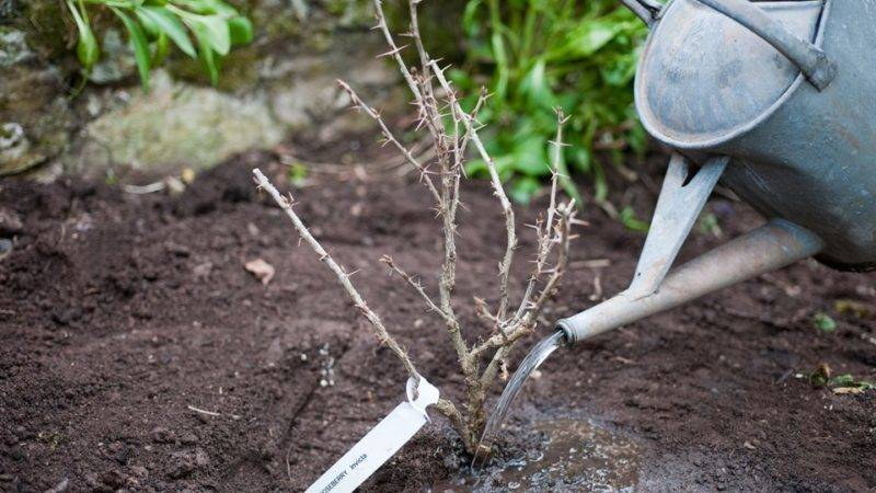 Чем обработать ягодные кустарники ранней весной – защита от болезней и вредителей