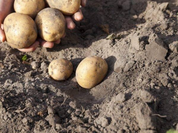 """Ранний картофель """"каратоп"""": описание сорта, фото, отзывы"""