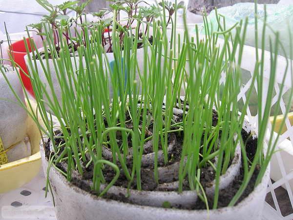 Выращивание шнитт-лука на подоконнике