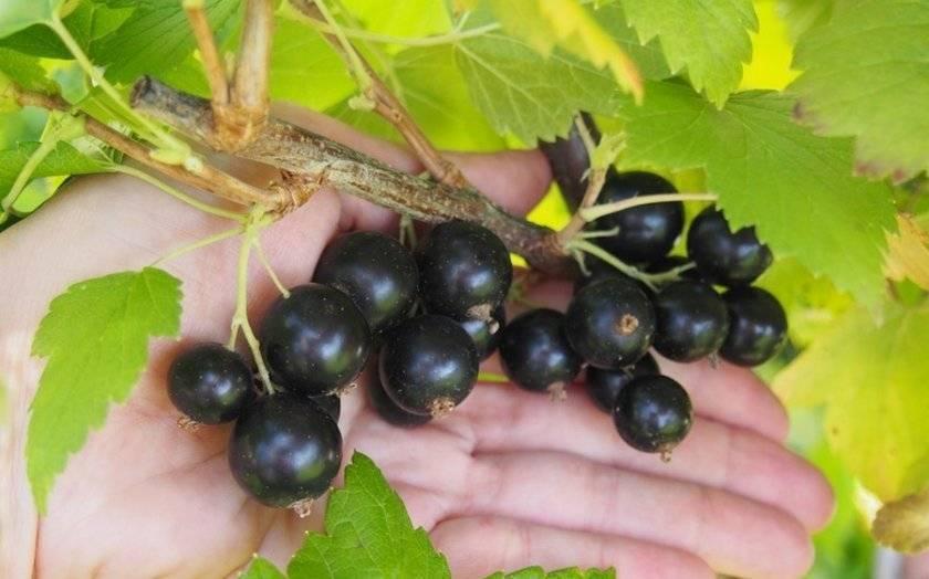 Чёрная смородина детскосельская: характеристики сорта и особенности выращивания