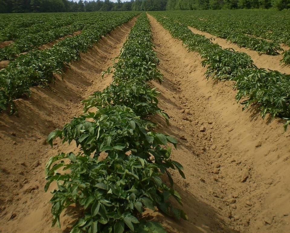 Через сколько прорастает картошка после посадки. плохие всходы картофеля: причины, советы по выращиванию. здоровый картофель из ростков