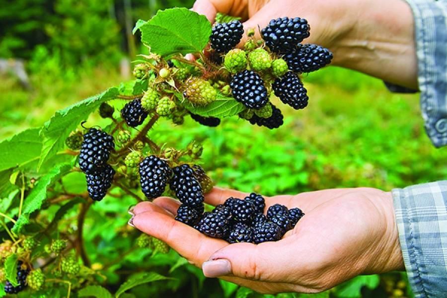 Ежевика торнфри: описание и тонкости выращивания. ежевика торнфри: описание сорта, как сажать и ухаживать за ягодой