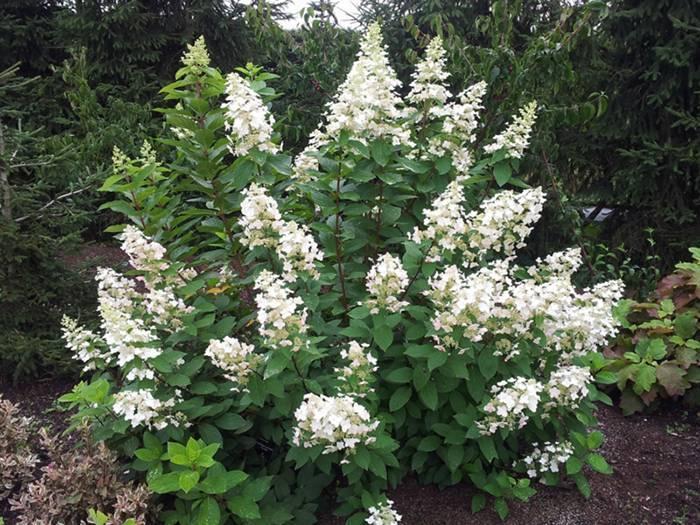 Королева сада гортензия метельчатая: виды, сорта, фото, посадка и уход