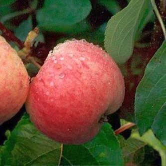 Яблоня грушовка московская, описание