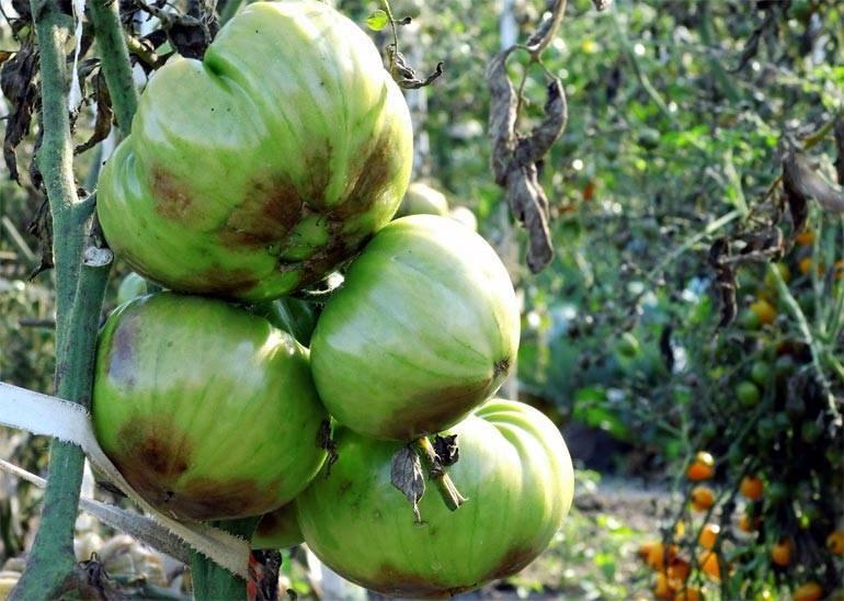 Как бороться с фитофторой на помидорах в теплице – чем и как обработать кусты