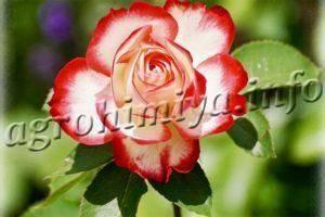 Чем подкормить розы летом во время цветения