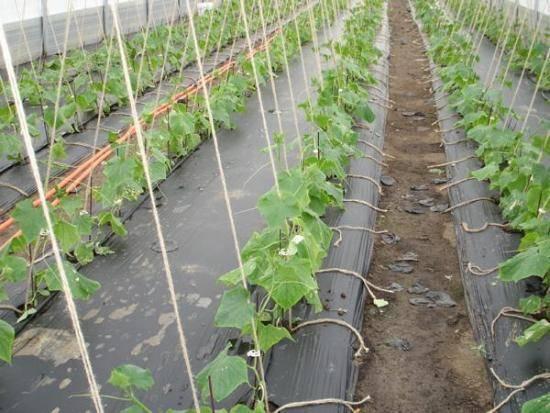 Описание необычных способов посадки и выращивания огурцов