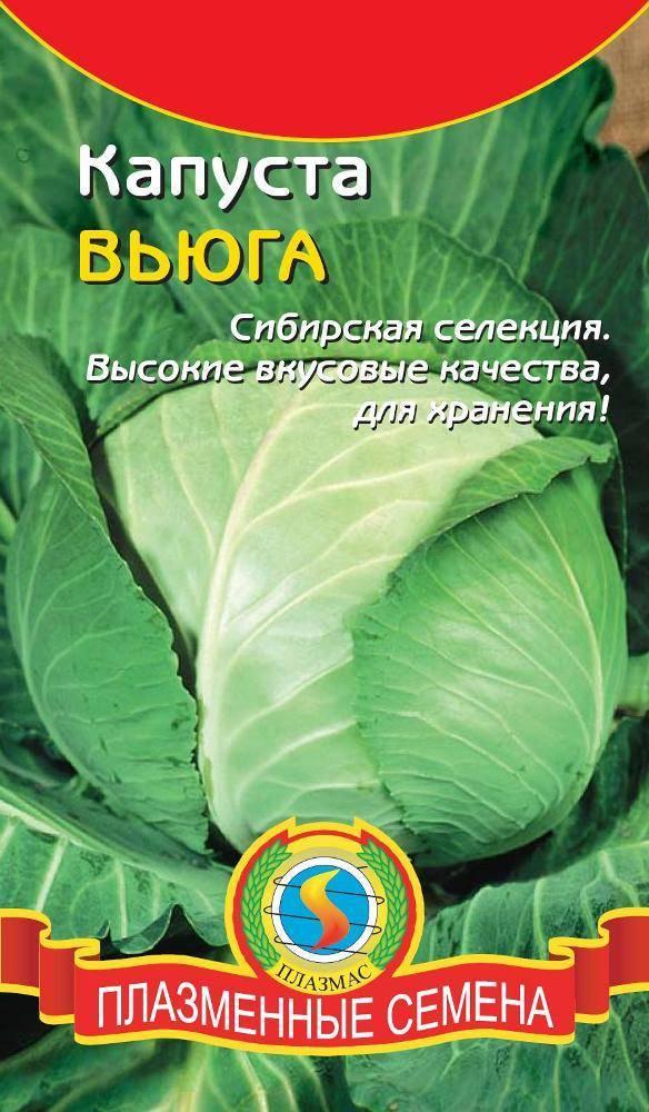 Капуста вьюга – все об урожайном сибирском сорте