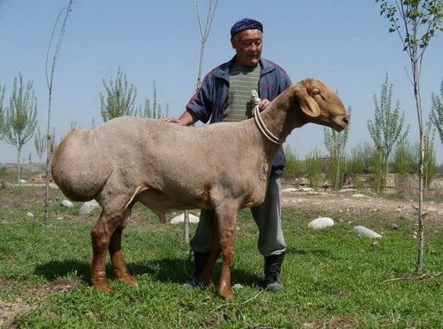 Лучшие производители мяса и сала – курдючные овцы